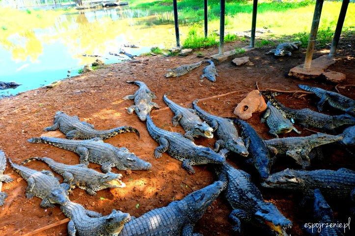 krokodyle_2