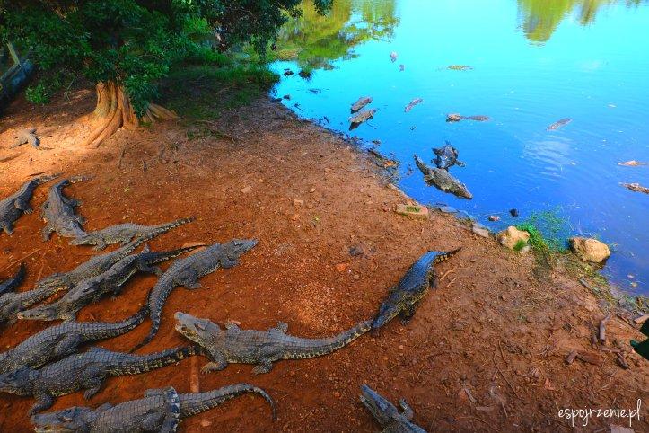krokodyle_4